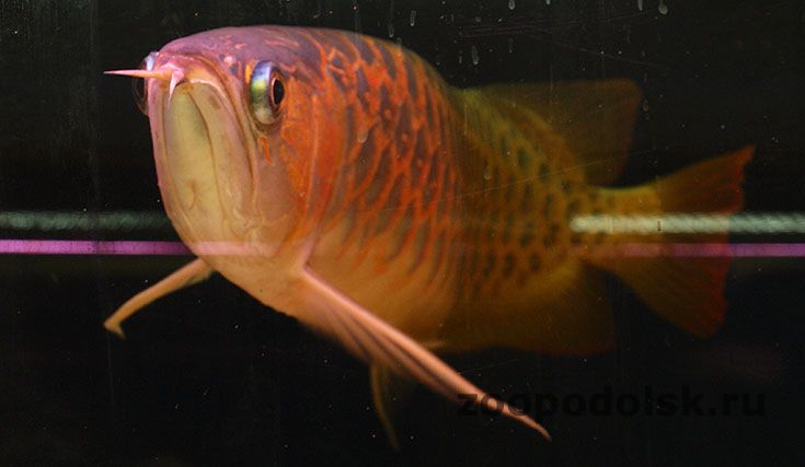 super red arowana фото
