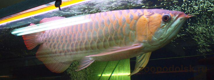 рыба техас фото