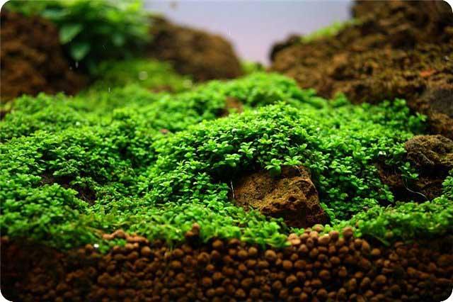 Выращивание мхов аквариумных 12
