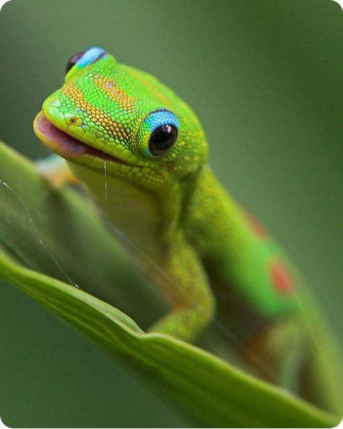 фото улыбающегося геккона