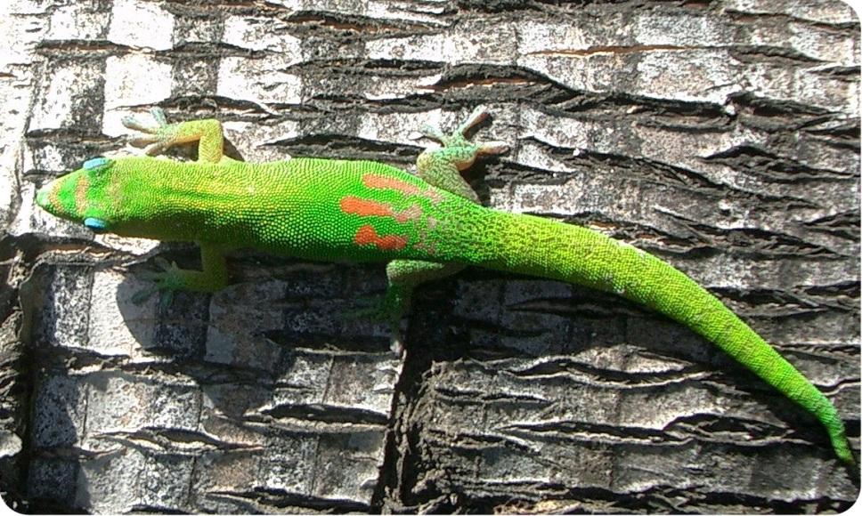 геккон вид сверху фото
