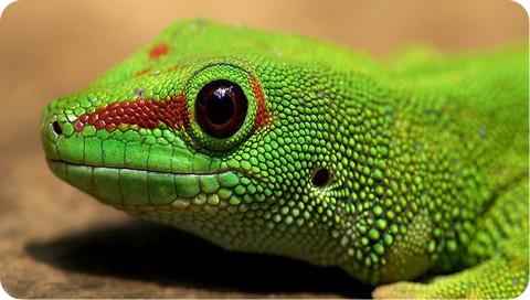 геккон фото