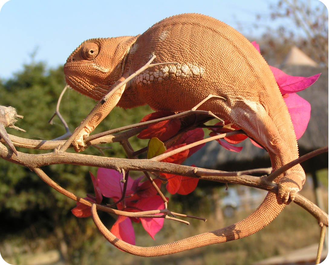 хамелеон изображающий ветку