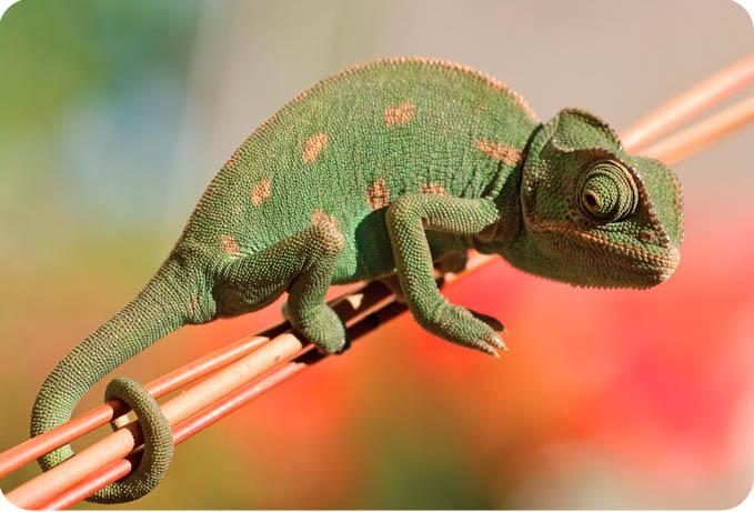 фото йеменского хамелеона
