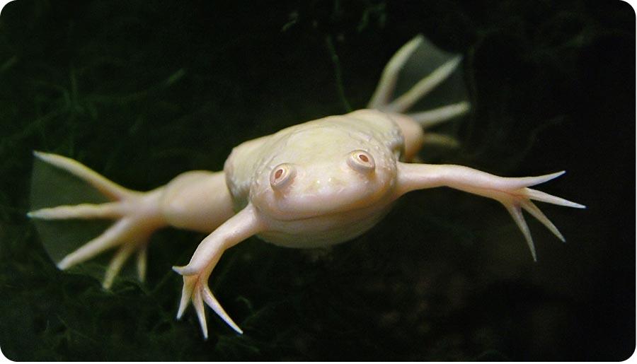 шпорцевая лягушка фото