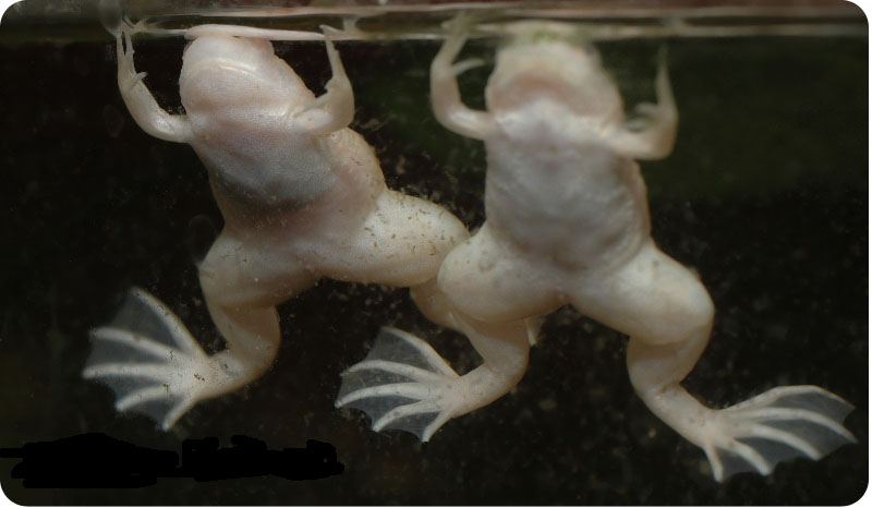 шпорцевые лягушки фото