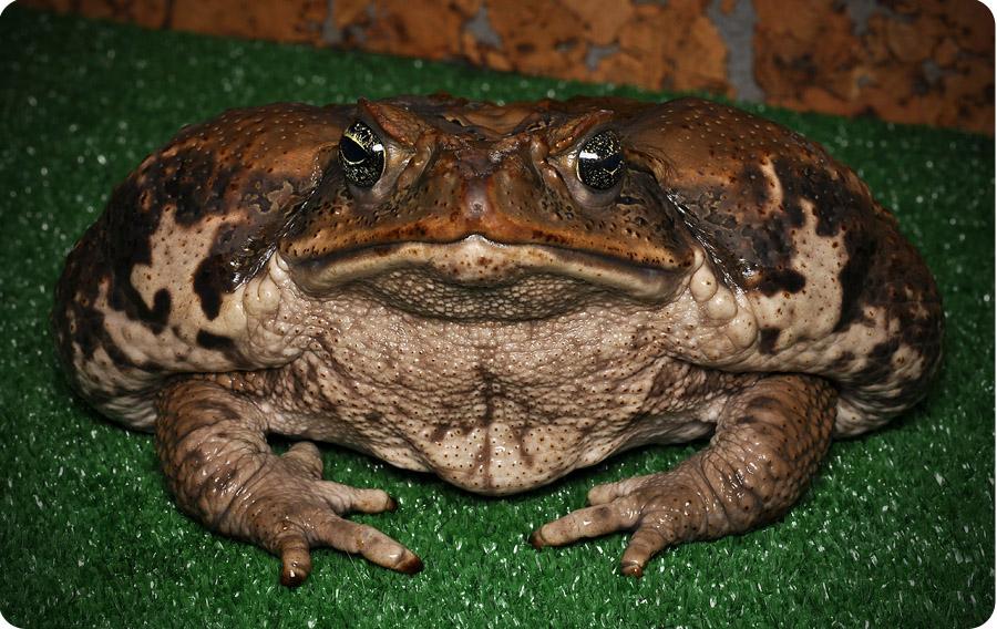 Жаба, содержание, жаба-ага, фото, размножение