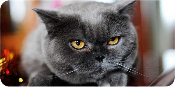 Британские злые коты