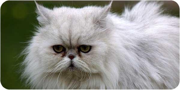 кошка персидской породы фото