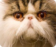 персидска кошка
