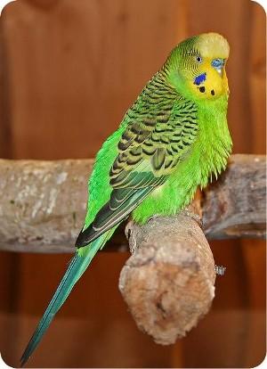 волнистый попугай дома фото