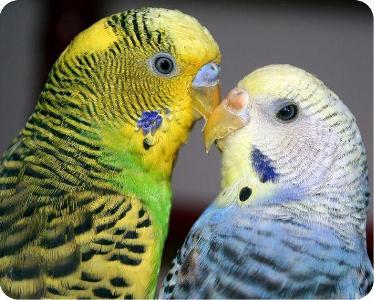 знакомство попугая с самкой
