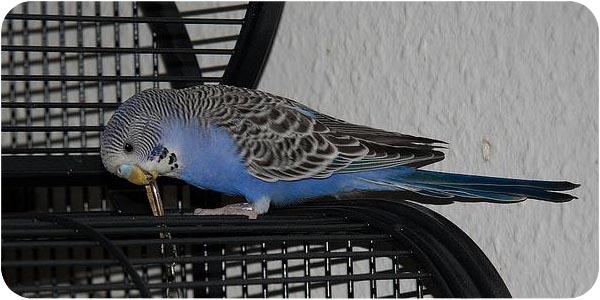 волнистый попугай на клетке