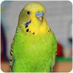 фото волнистого попугая