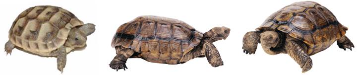 сухопутные черепахи фото