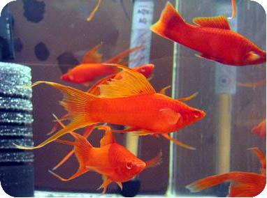 Рыбки меченосцы - Аквариумные рыбки и растения
