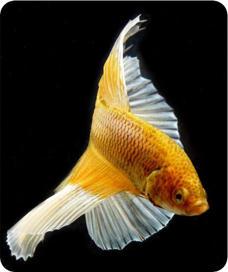 бойцовская рыбка фото