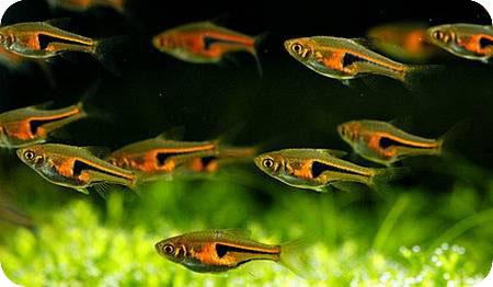 Представители рода в большинстве своем стайные рыбы