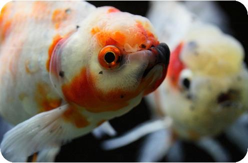 золотая рыбка аквариум фото