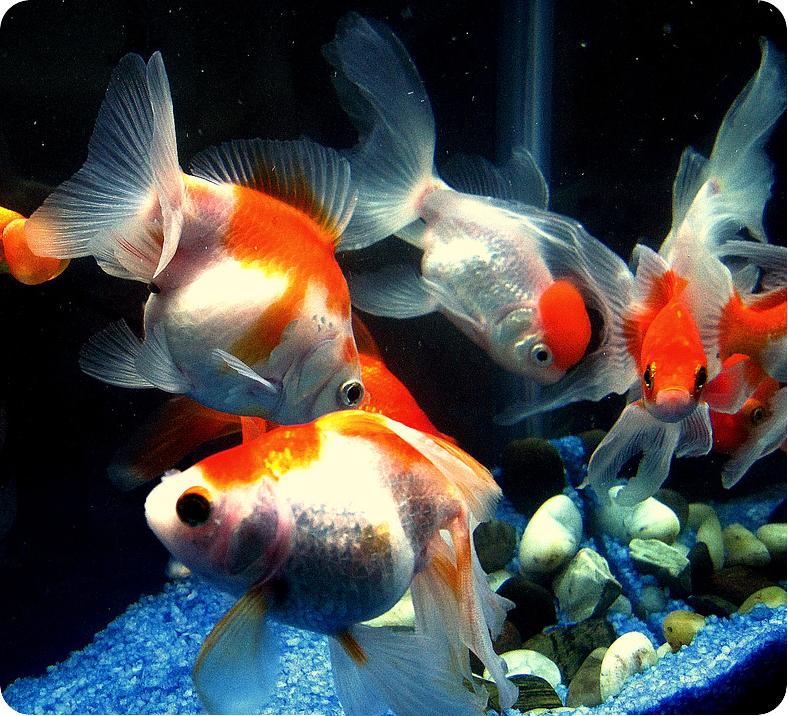 фото золотые рыбки