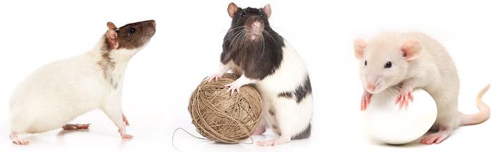 Породы ручных крыс