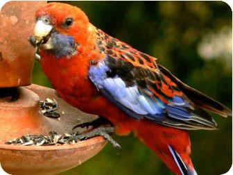 попугай розелла фото