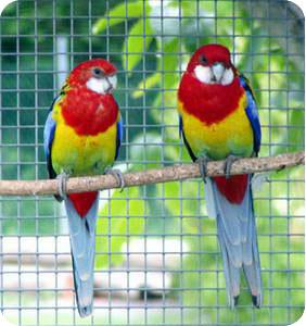 попугаи розелла фото
