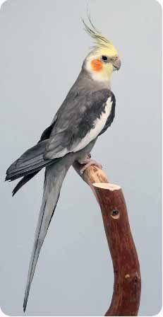 попугай корелла на ветке