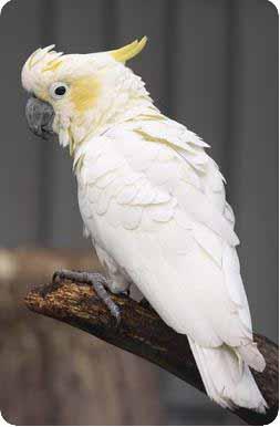 попугай корелла разговаривает или нет