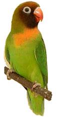 попугай неразлучник фото
