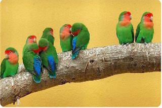 фото попугаи неразлучники