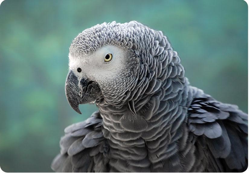 Какого цвета попугай жако