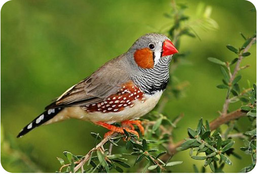 амадина птица