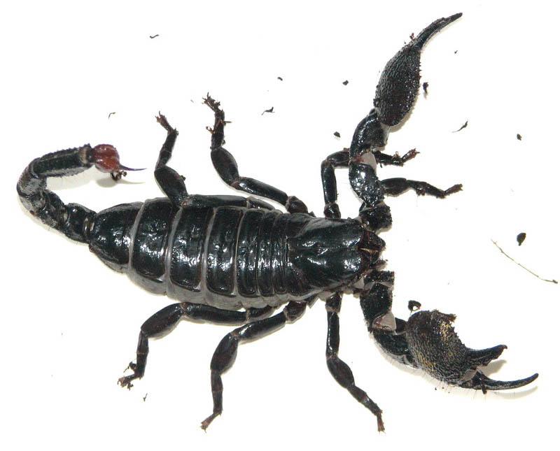 скорпион террариум фото
