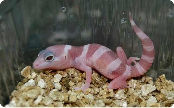 геккон малыш фото