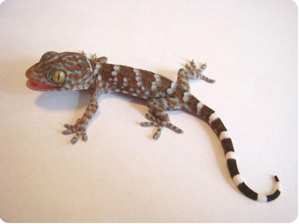 геккон токи фото
