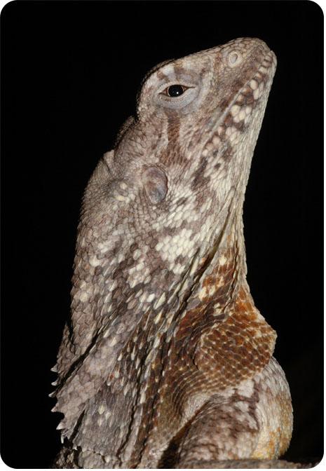 плащеносная ящерица в профиль фото