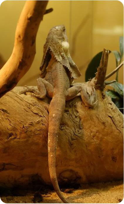 фото плащеносной ящерицы в террариуме