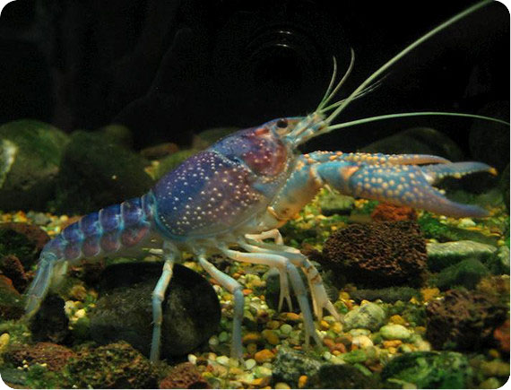 Размножение аквариумных раков
