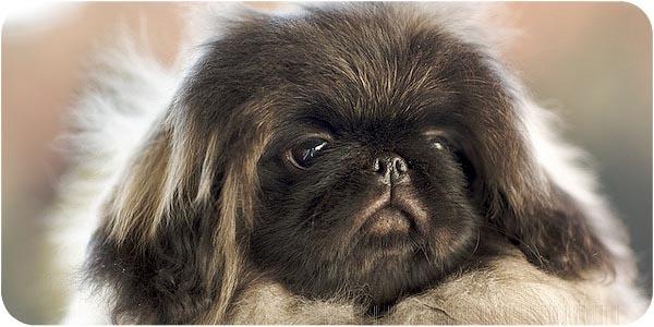 щенок пекинеса фото