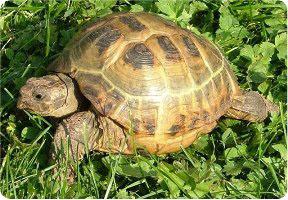 фото сухопутной черепахи