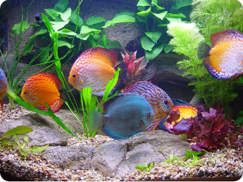 дискусы в аквариуме фото