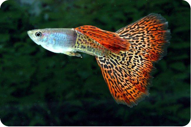 Температура воды для гуппи в аквариуме и правила кормления