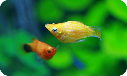Совместимость пецилий с другими рыбками