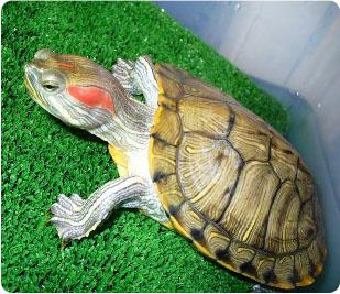 Красноухая черепаха: в домашних условиях, содержание и уход | 267x309