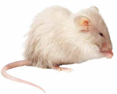 Разведение декоративных мышей